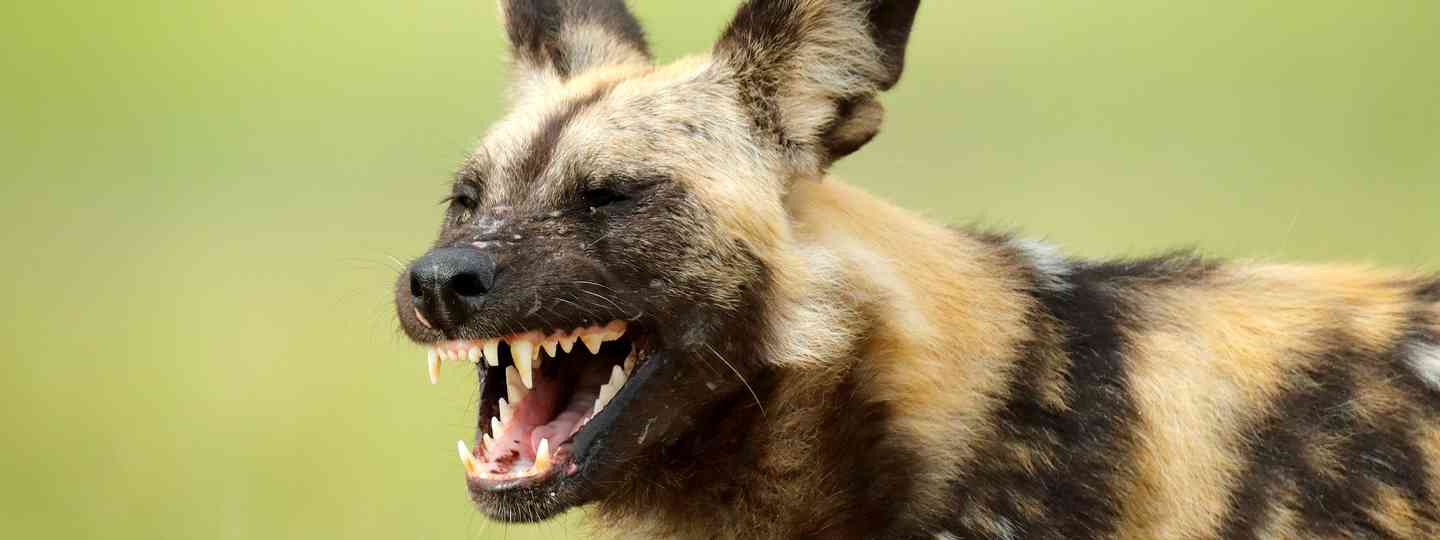 An African wild dog in Moremi, Botswana, Africa (Dreamstime)