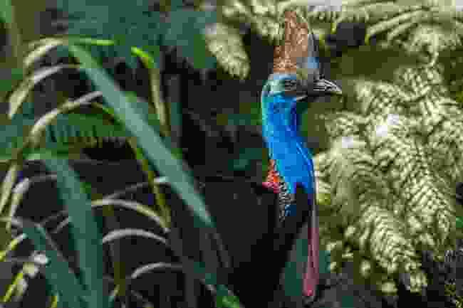 A cassowary (Shutterstock)
