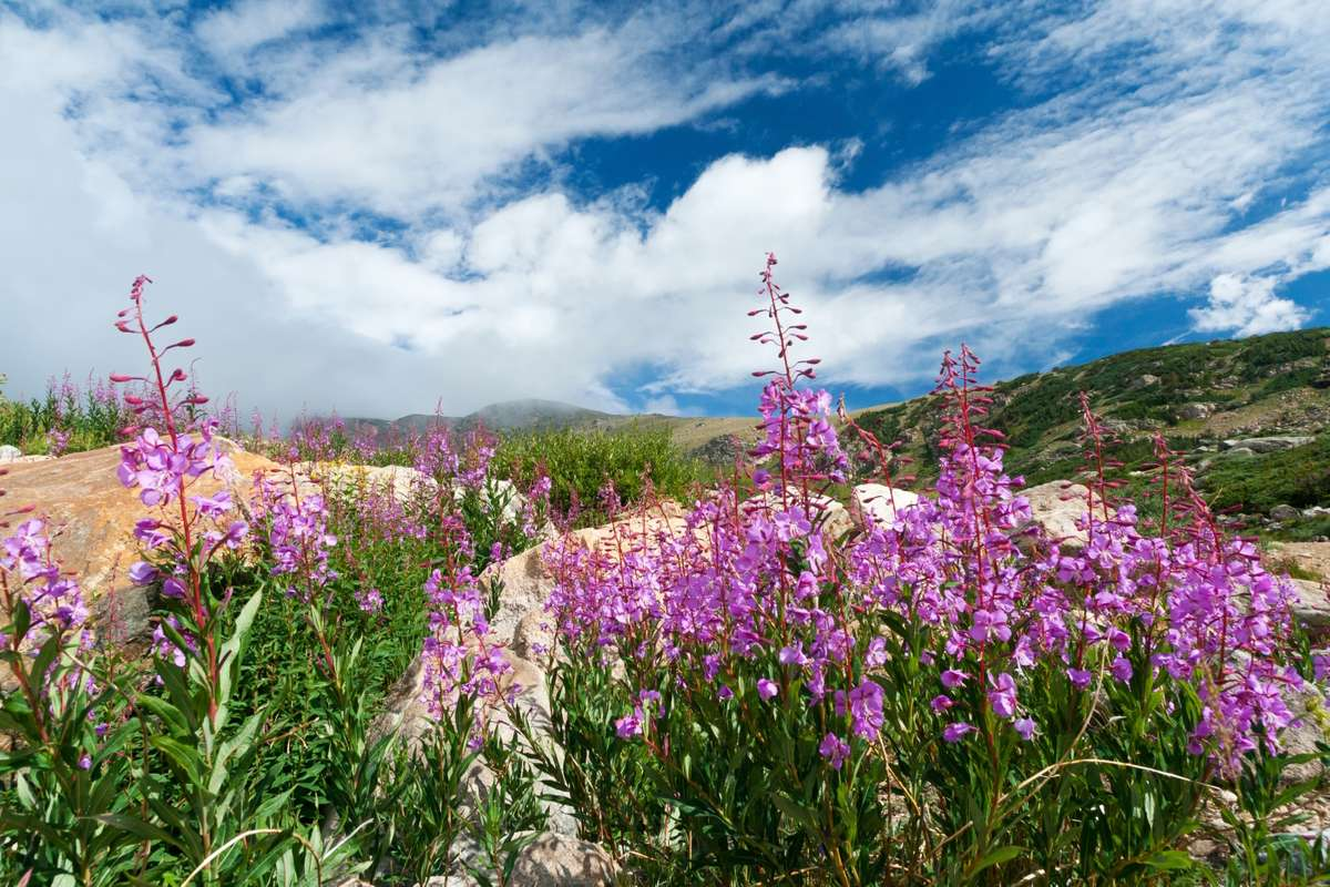 Colorado's mountain wildflowers (Dreamstime)