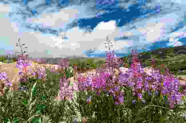 Colorado's mountain wildflowers (Dreamstime)