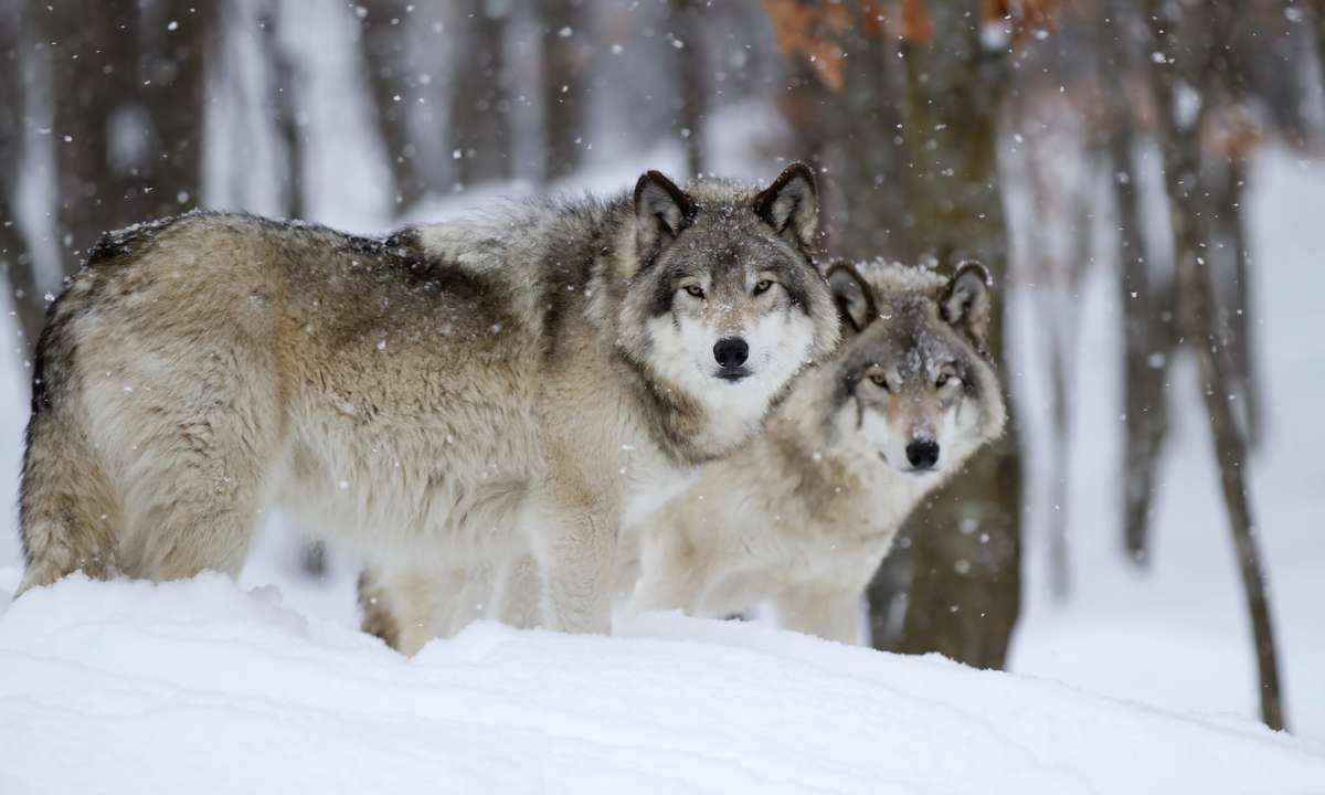 Wolves in Canada in winter (Dreamstime)