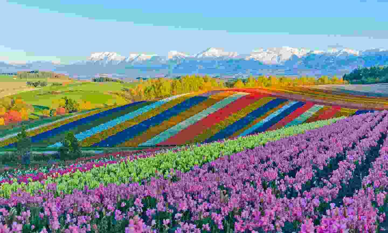 Fields of flowers in Biei, Hokkaido (Shutterstock)