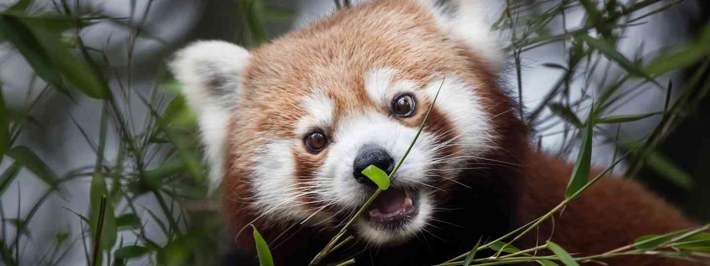 A Red Panda in the wild