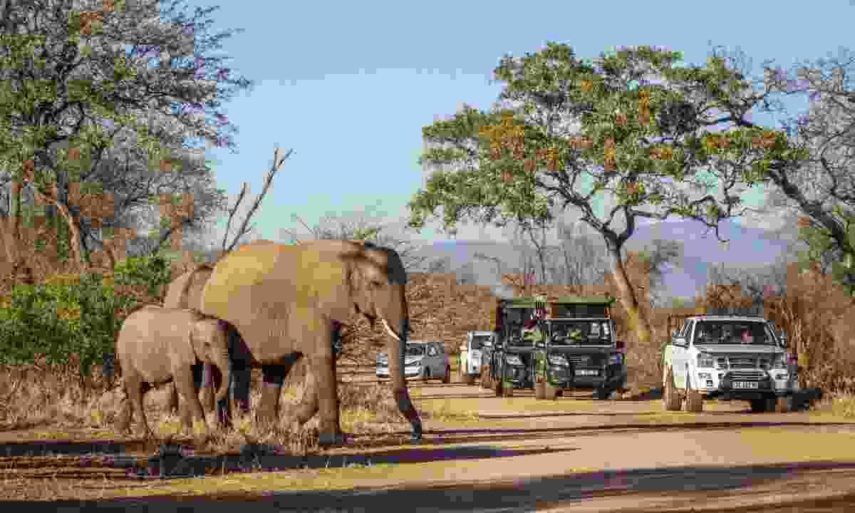 African bush elephants in Kruger National park, South Africa (Dreamstime)