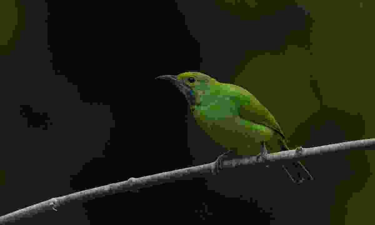 Brightly coloured leafbird in Kaeng Krachan, National Park, Thailand (Julia Wainwright)