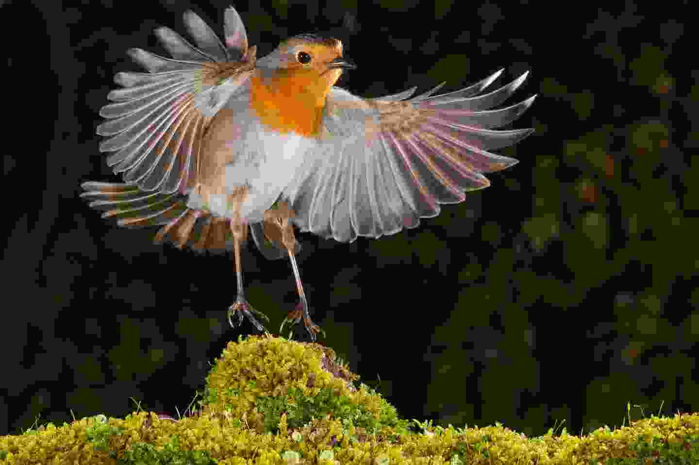 A robin mid-flight in the United Kingdom (Shutterstock)