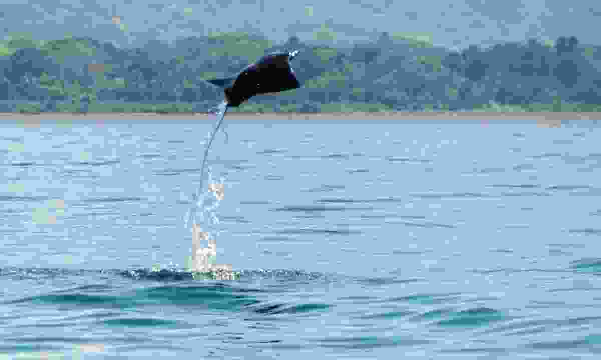 Marvel at how high devil rays can jump from the water in Costa Rica (Shutterstock)