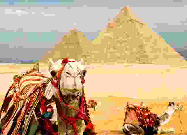 Camel at the Giza Site (shutterstock)