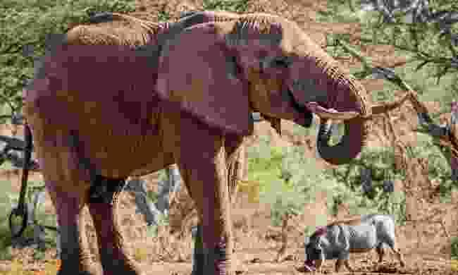 An elephant in the Chyulu Hills, Kenya (Shutterstock)