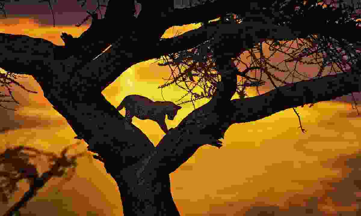 A cheetah sillhouetted in a tree during a night drive in the Masai Mara (Shutterstock)