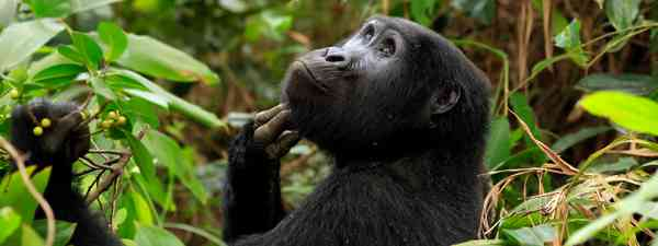 A young gorilla spotted in Uganda (Shutterstock)