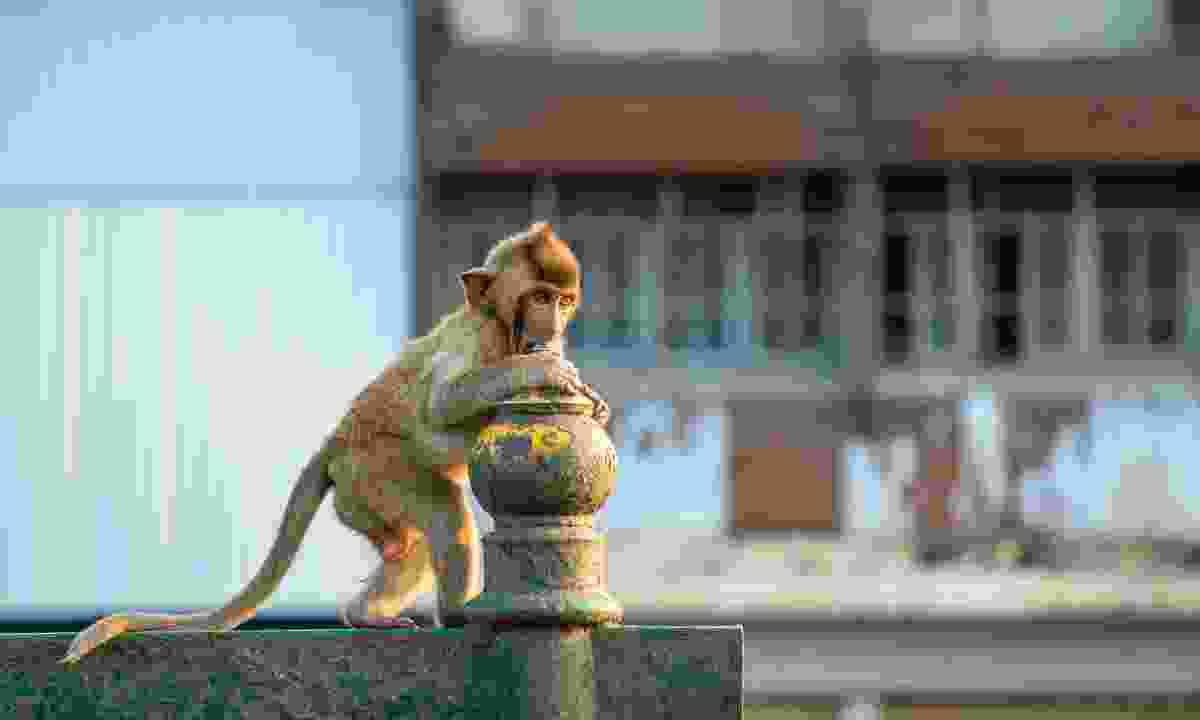 A young long-tailed macaque at Phra Phrang Sam Yot in Lopburi (Julia Wainwright)