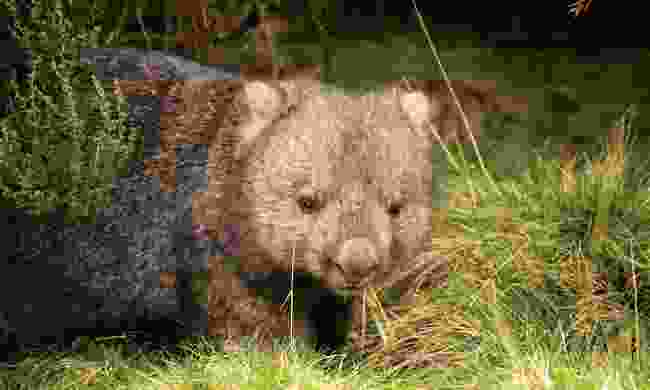 Meet Fred the wombat at Cleland Wildlife Park