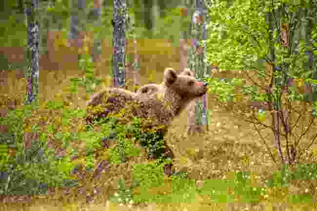A brown bear strolls through the bog (Shutterstock)