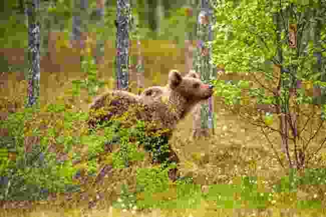 A brown bear strolls through the bog (Shutterstock)