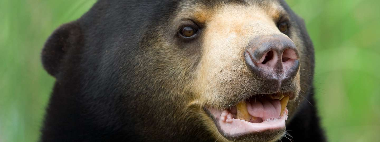 A Malaysian sun bear (Dreamstime)
