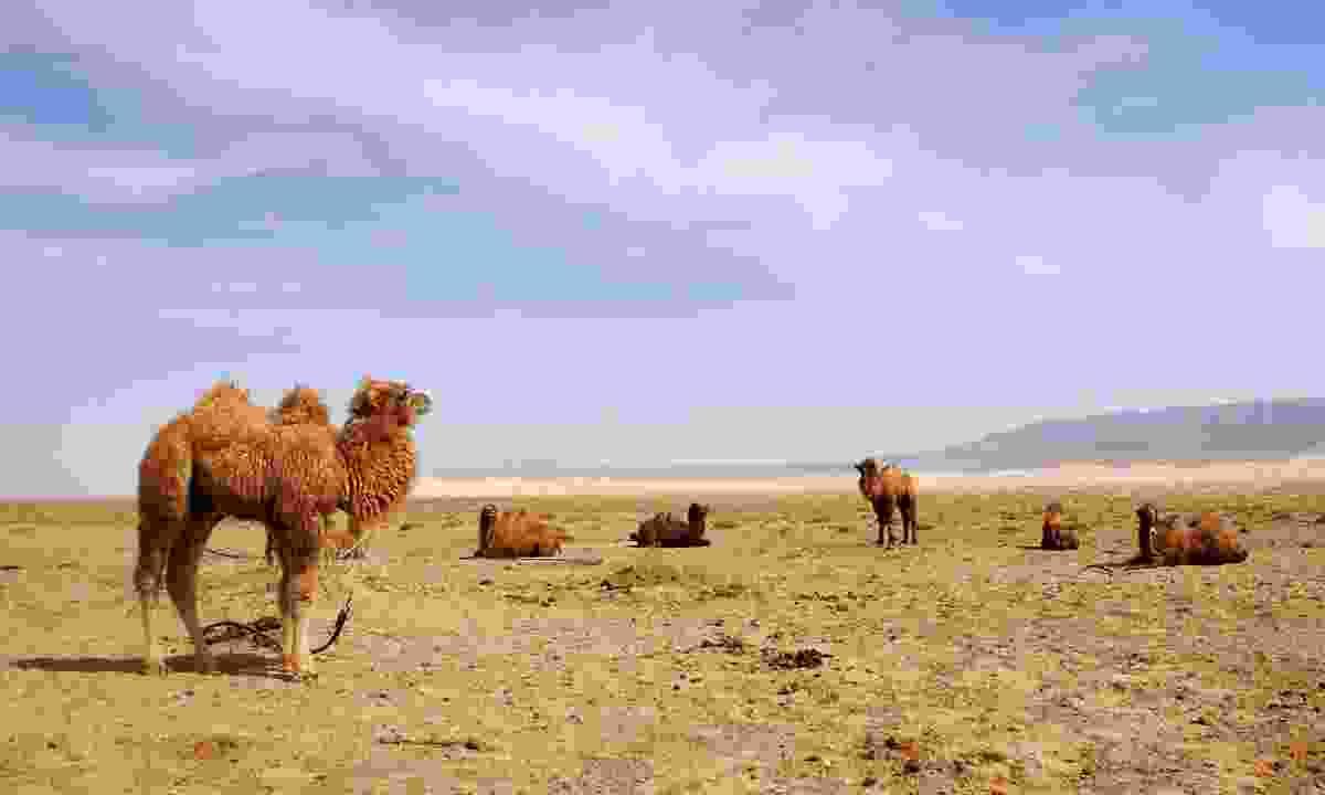 Camels in the Gobi Desert, Mongolia (Dreamstime)