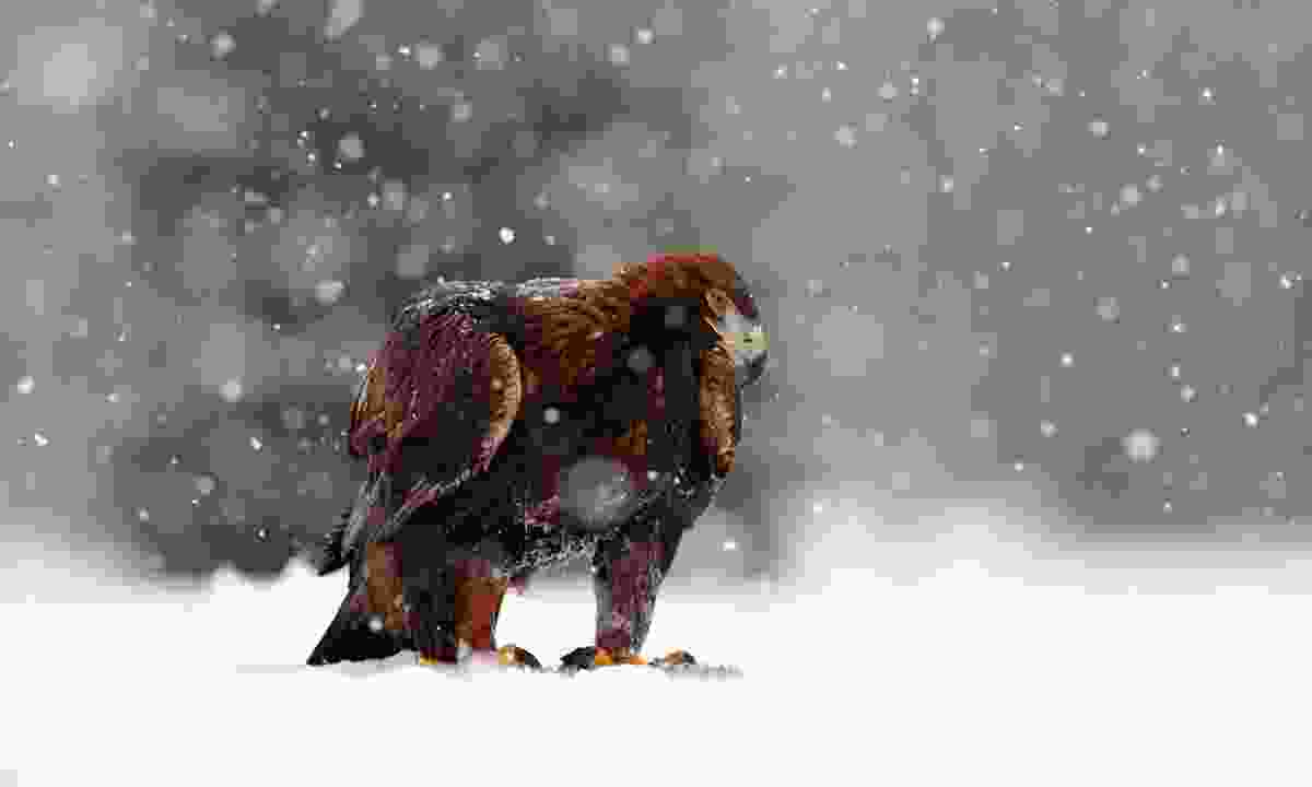 A Golden Eagle in the snow (Dreamstime)