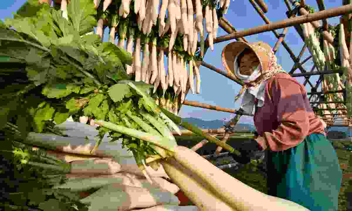 A Japanese farmer hanging daikon radish to dry (Dreamstime)