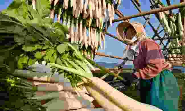 A Japanese farmer hanging daikon radish to dry (Dreamstime)