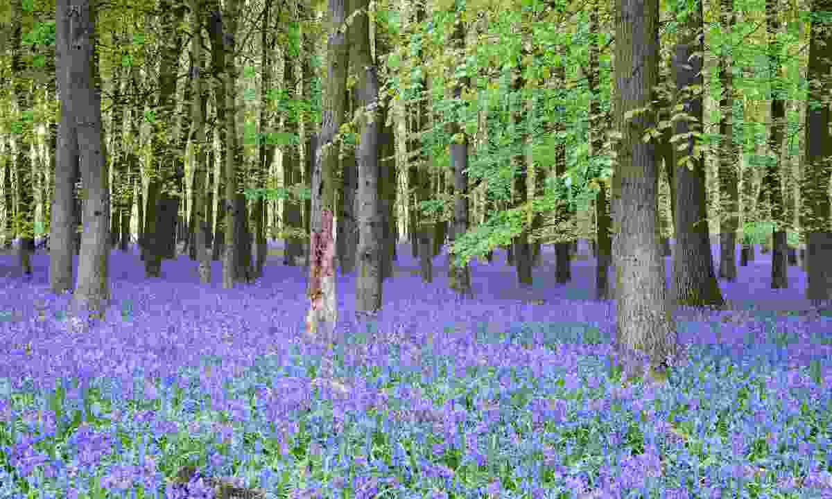 A bluebell wood in England (Shutterstock)