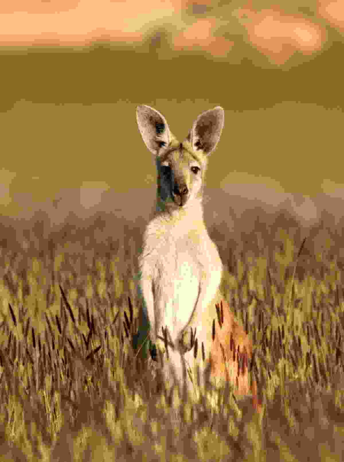Kangaroo in the Australian outback (Dreamstime)