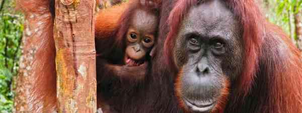 Orangutans (Dreamstime)