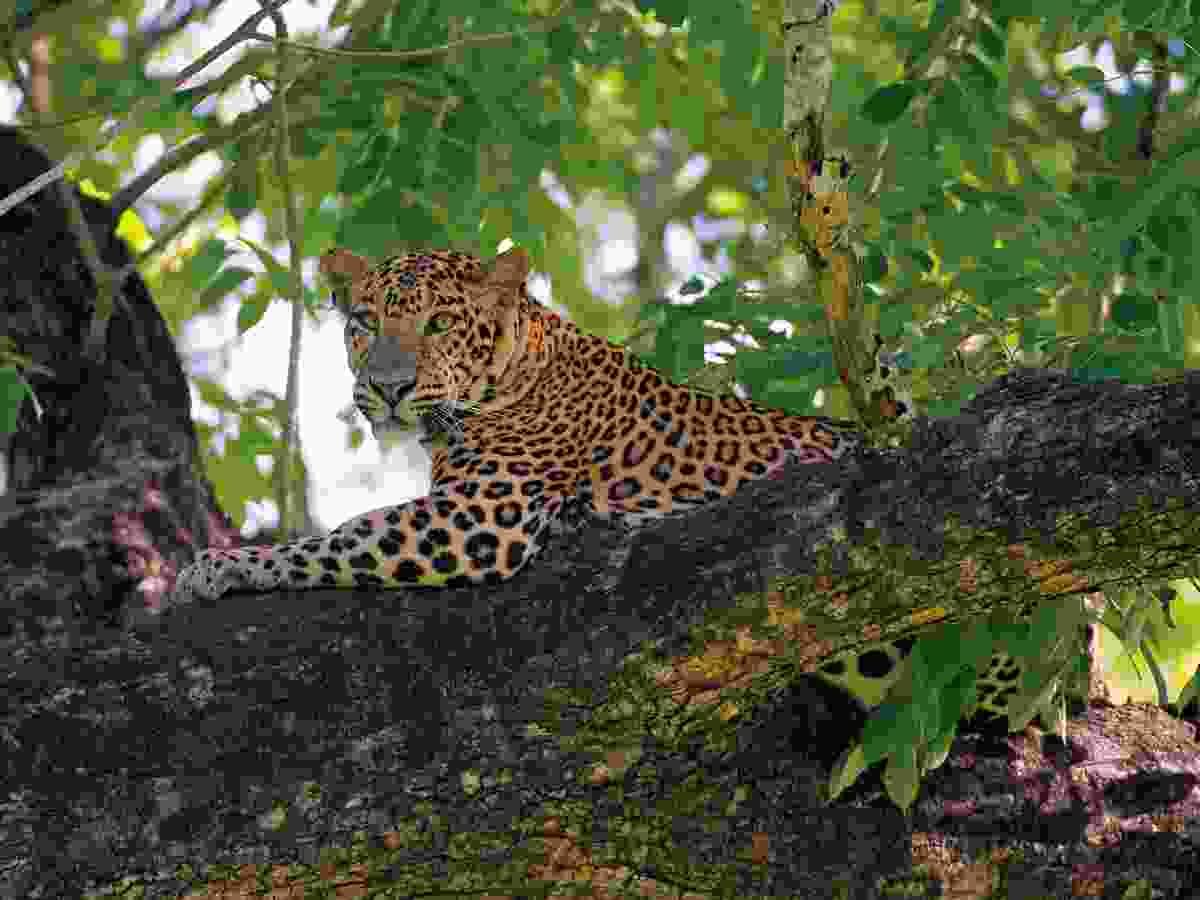 Leopard in tree (Axel Gomille)
