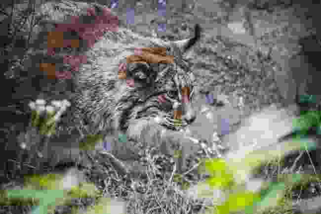 An Iberian lynx (Shutterstock)