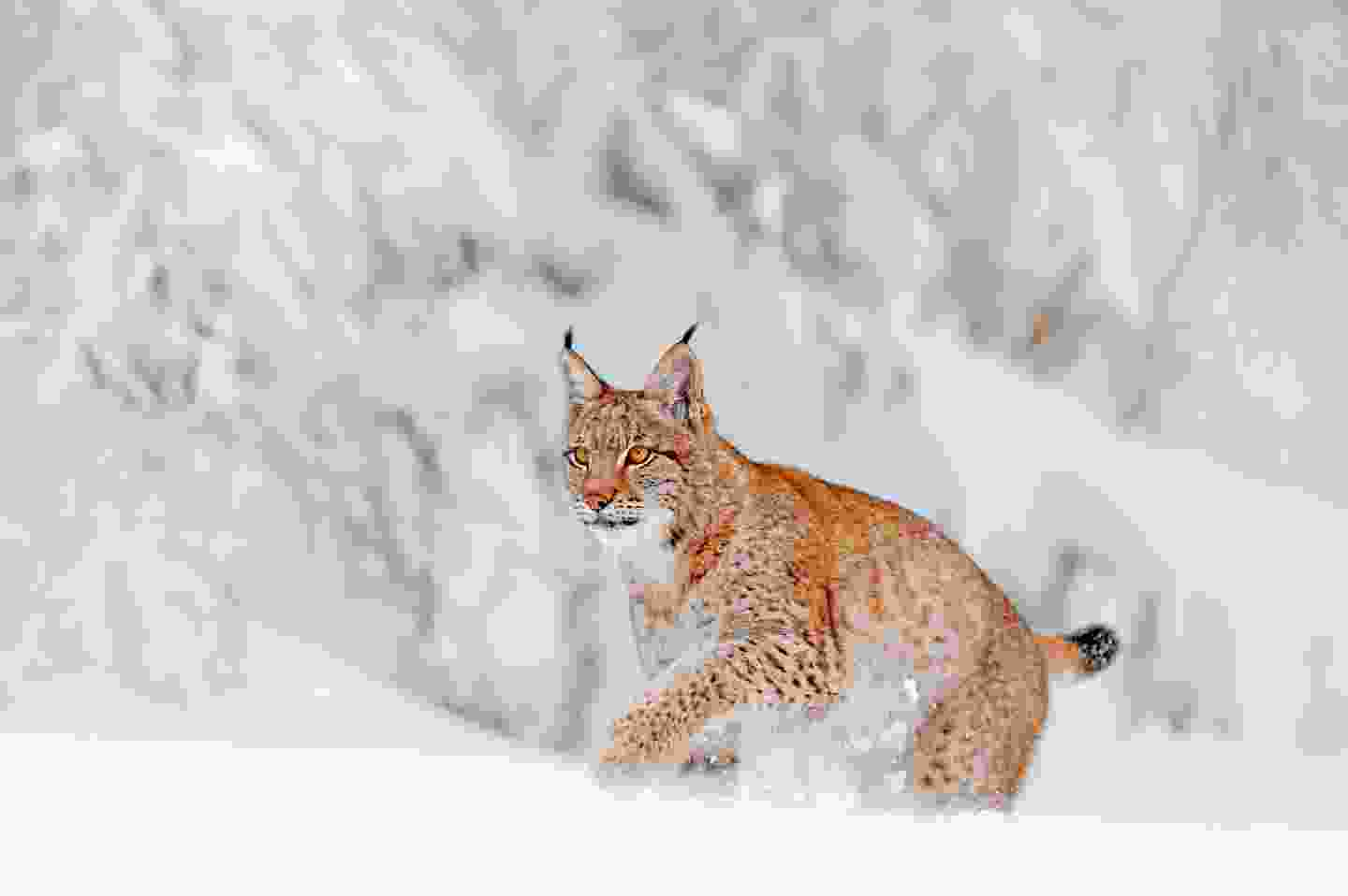 A lynx, living deep in the Polish forest (Shutterstock)