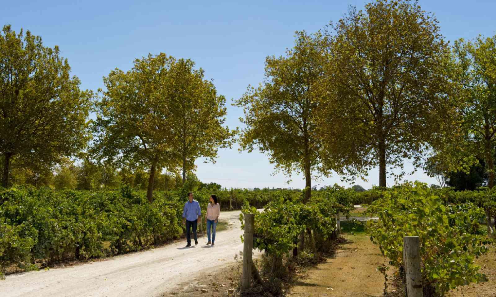 Walking through vineyards (SATC)