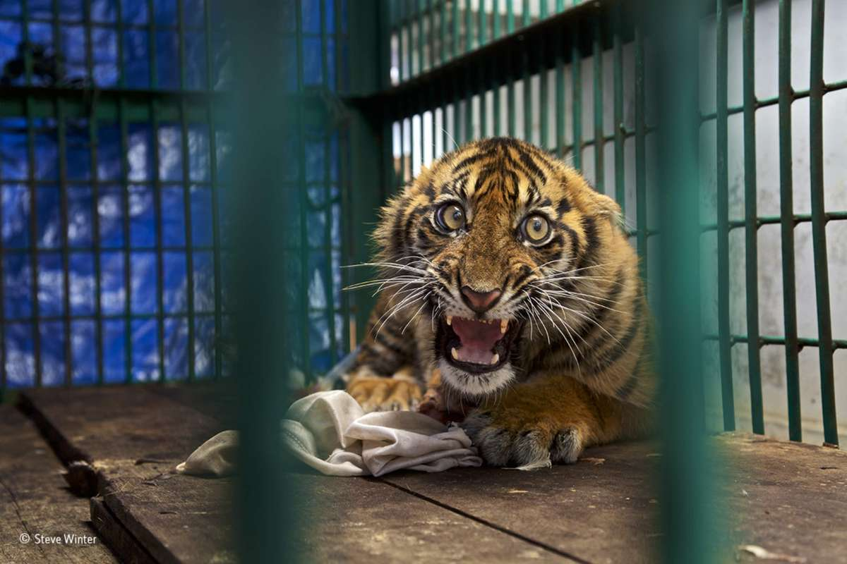 Saved but caged. Finalist 2017, The Wildlife Photojournalist Award: Single Image (Steve Winter)