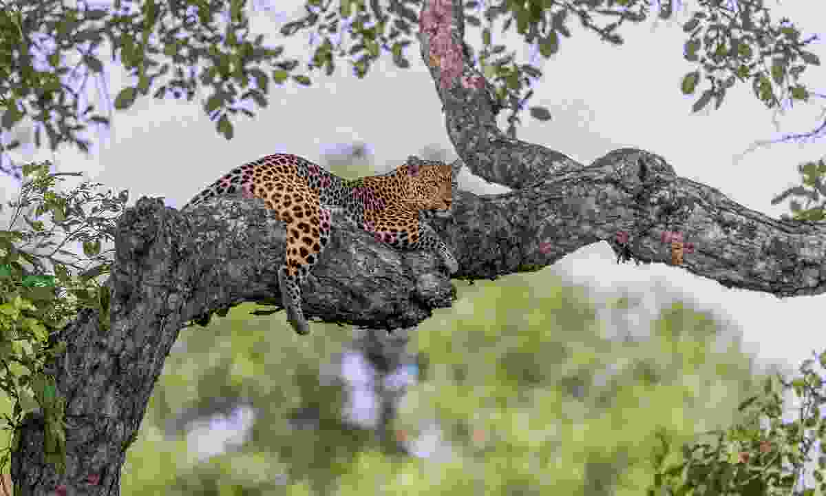 A leopard lounges in a branch in South Luangwa National Park, where superbly knowledgeable guides lead some of Africa's best walking safaris (Shutterstock)