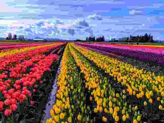 Don't miss Skagit Valley Tulip Festival (Shutterstock)