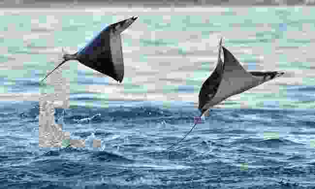 some devil rays can grow as big as 5 metres, making them some of the largest rays on the planet (Shutterstock)