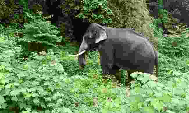Indian elephant in the forests of Periyar National Park (Shutterstock)
