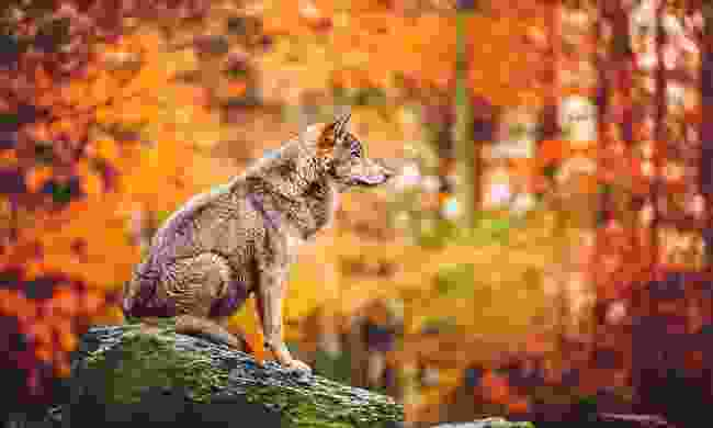 A north-western (timber) wolf sits alert on a stone (Dreamstime)