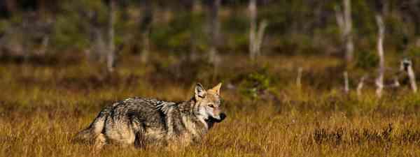 Wolf pup (Jan Nordstrom, Wild Sweden)
