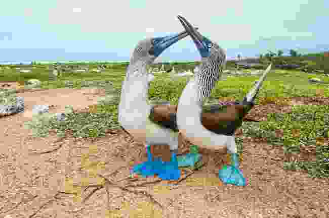 A blue-footed booby pair's courtship dance is as exuberant as it is endearing, Santa Cruz (Tui De Roy)