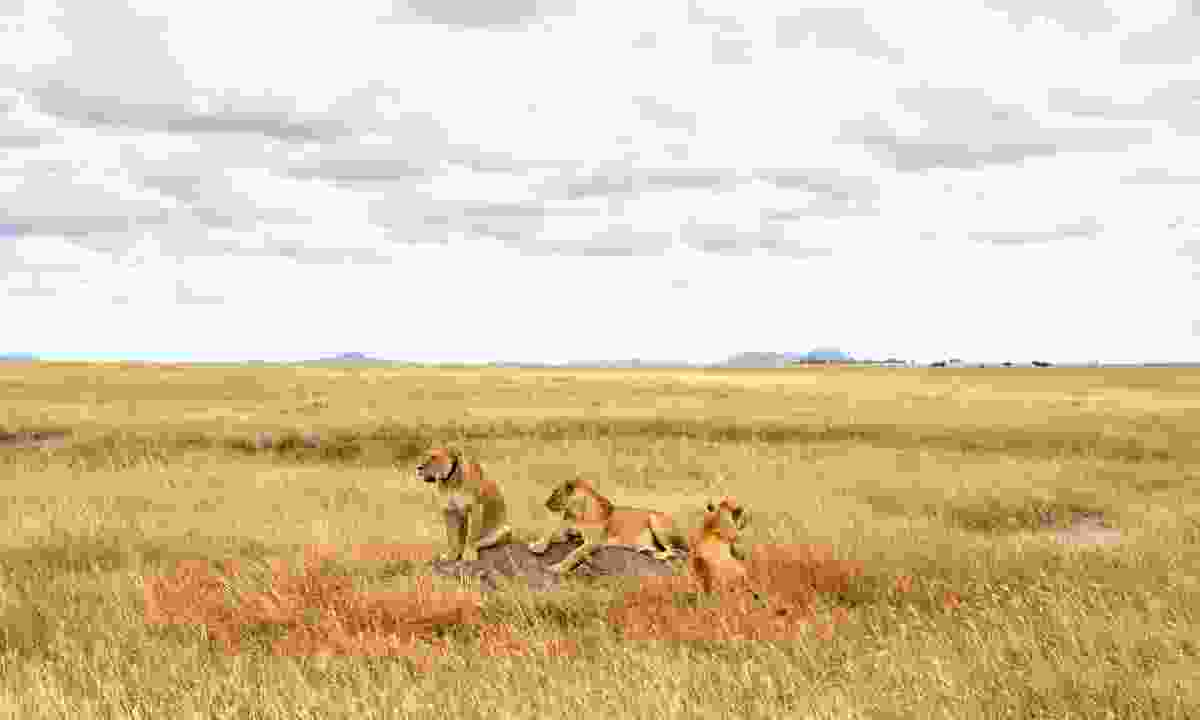 A pride of lionesses scan the Serengeti for their next meal (Shutterstock)