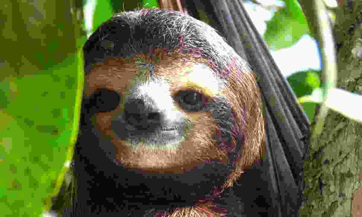 Sloth in Costa Rica  (Shutterstock)