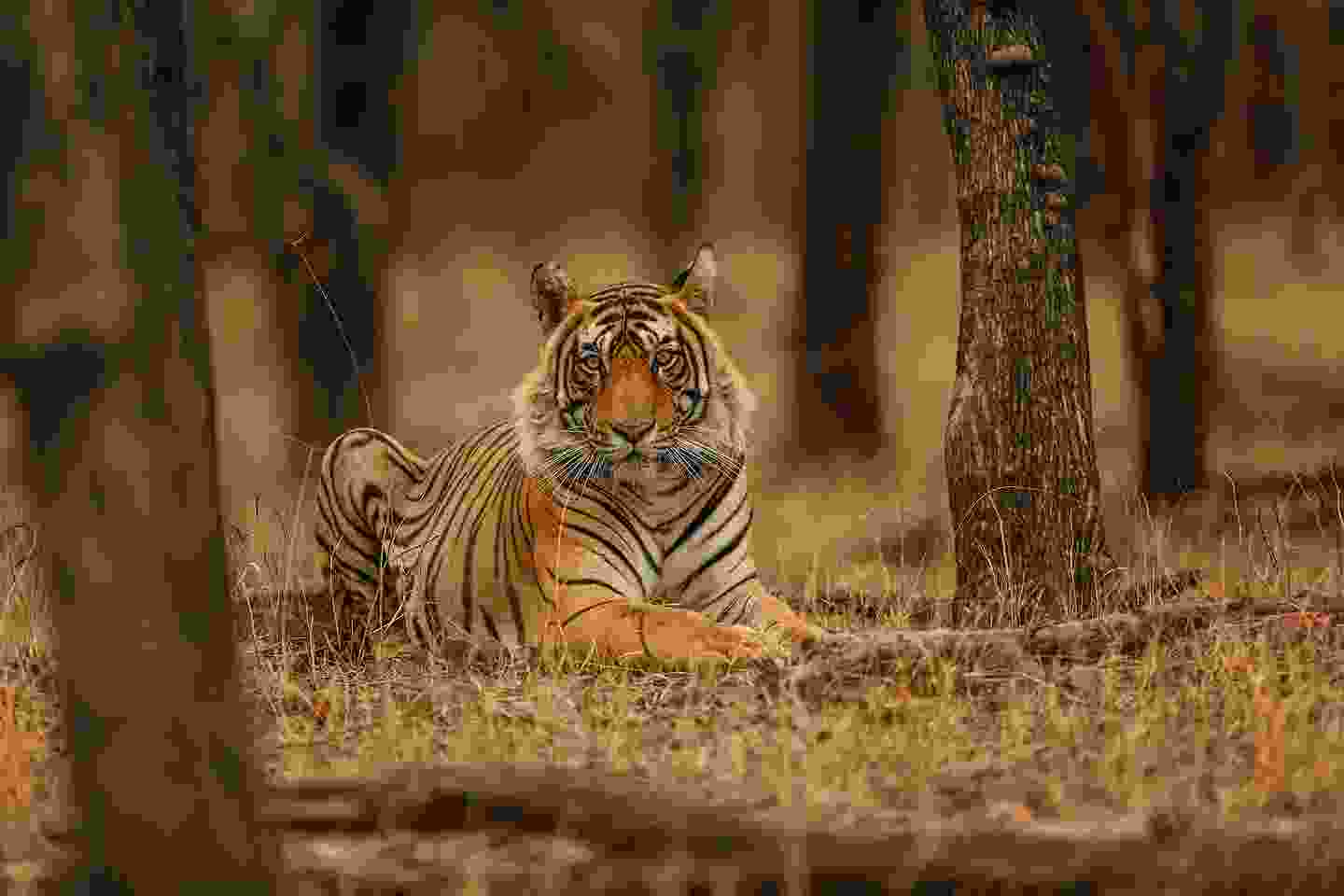 A tiger in India (Shutterstock)