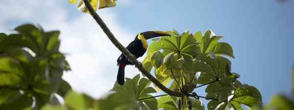 Tucan in Costa Rica. (Dreamstime)