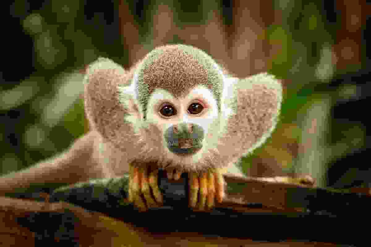 Squirrel monkey in the Ecuadorian jungle (Shutterstock)