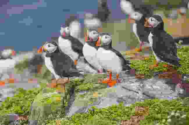 Puffins on the Farne Islands' coast, Northumberland (Shutterstock)