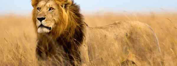 Lion in the Maasai Mara (Dreamstime)