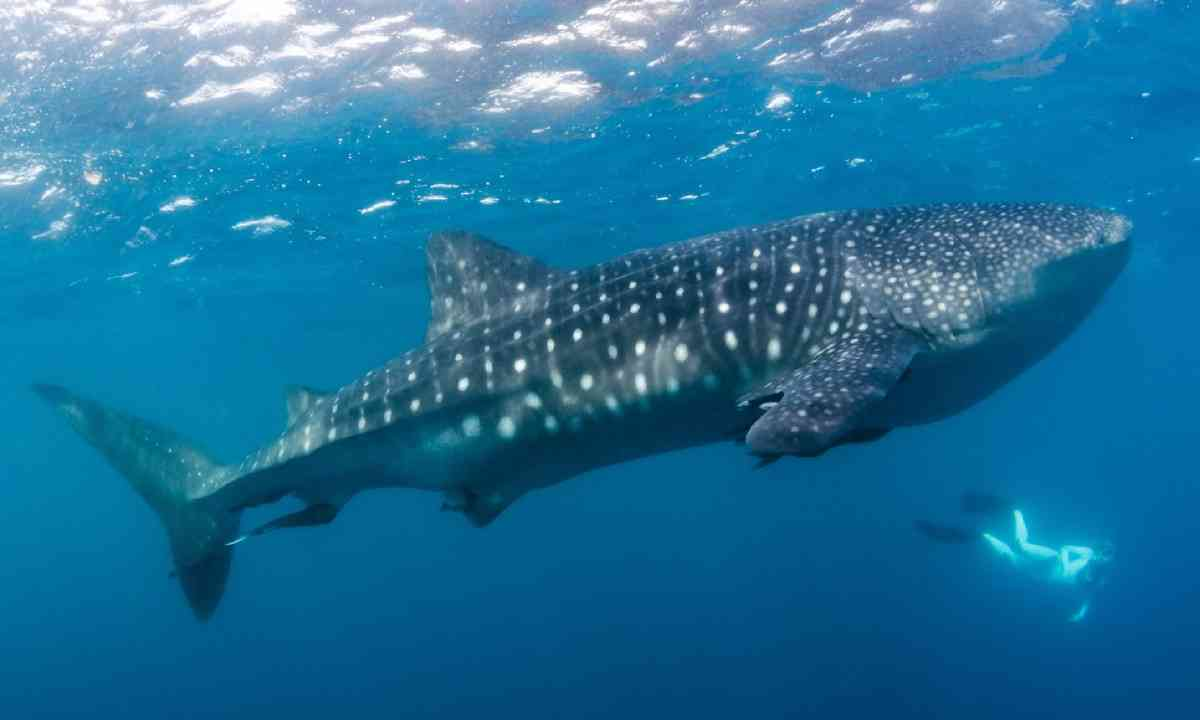 Diving with a whaleshark, Costa Rica (Shutterstock)
