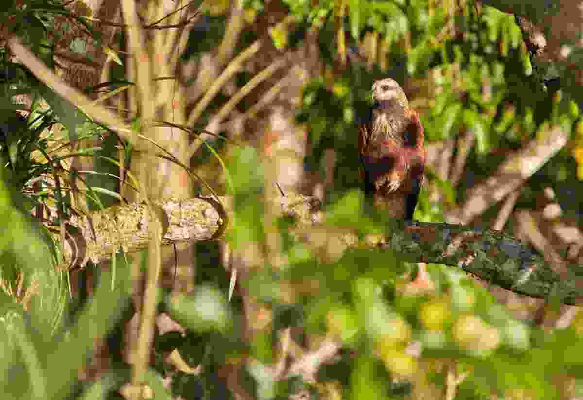Black-collared Hawk (Dreamstime)