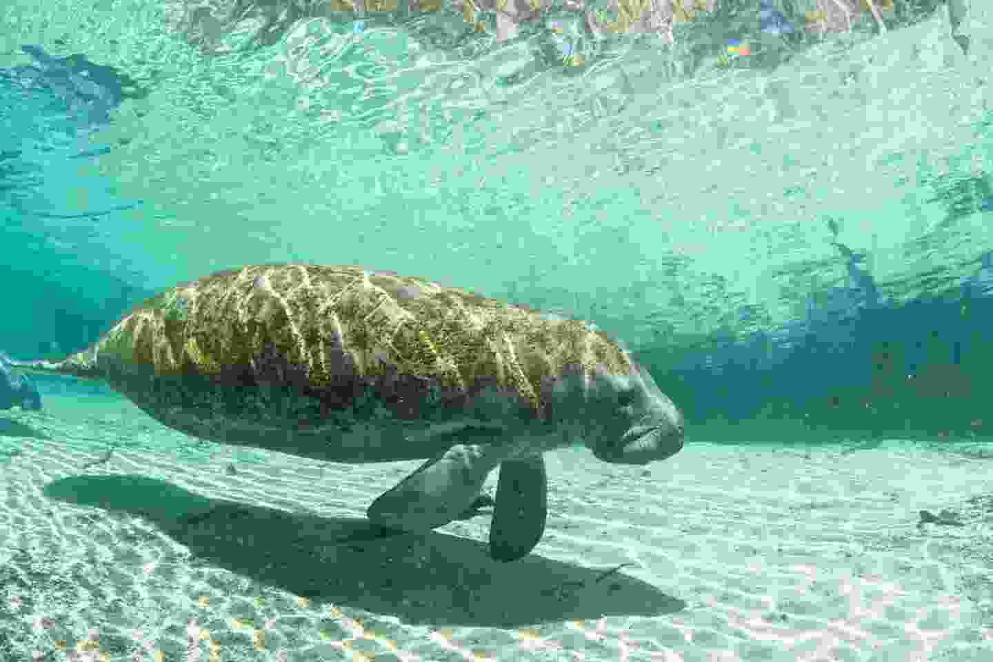 Manatees in the Crystal River, Florida (Shutterstock)