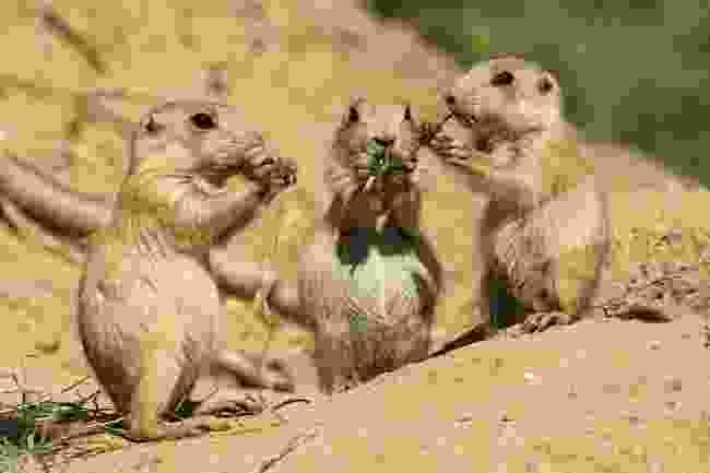 Prairie dogs (Shutterstock)